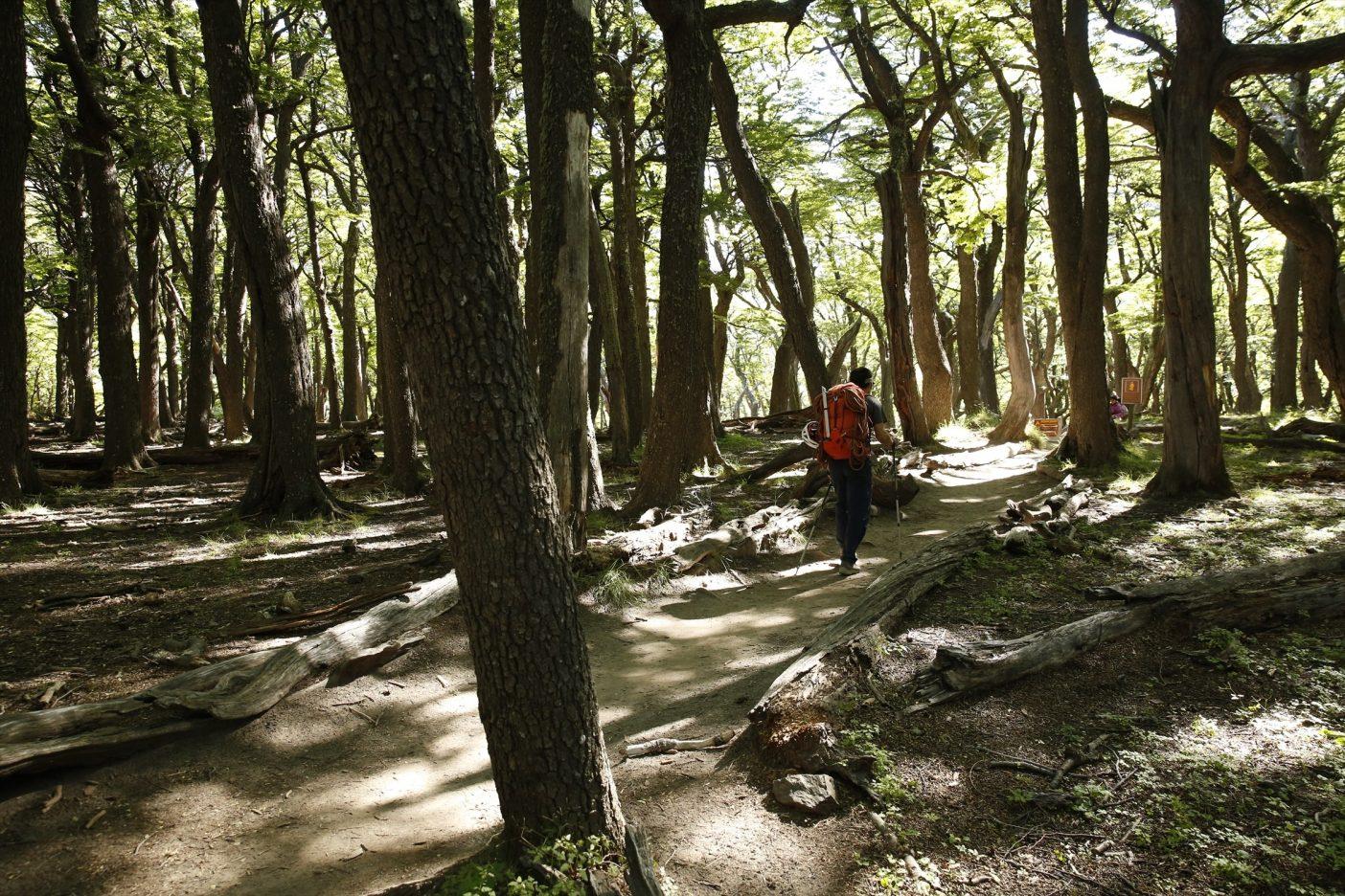 山へのアプローチは美しい南極ブナの森を歩いてゆく。写真:佐藤正純