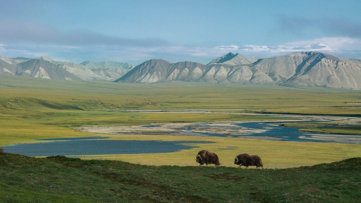 ジャコウウシは更新世の時代からここに生存し、カリブーと同じく1万年を生き延びた唯一の有蹄動物である。雪の上下に生える植物を探して北極圏野生生物保護区のツンドラを自由に歩きまわる。Photo: Florian Schulz