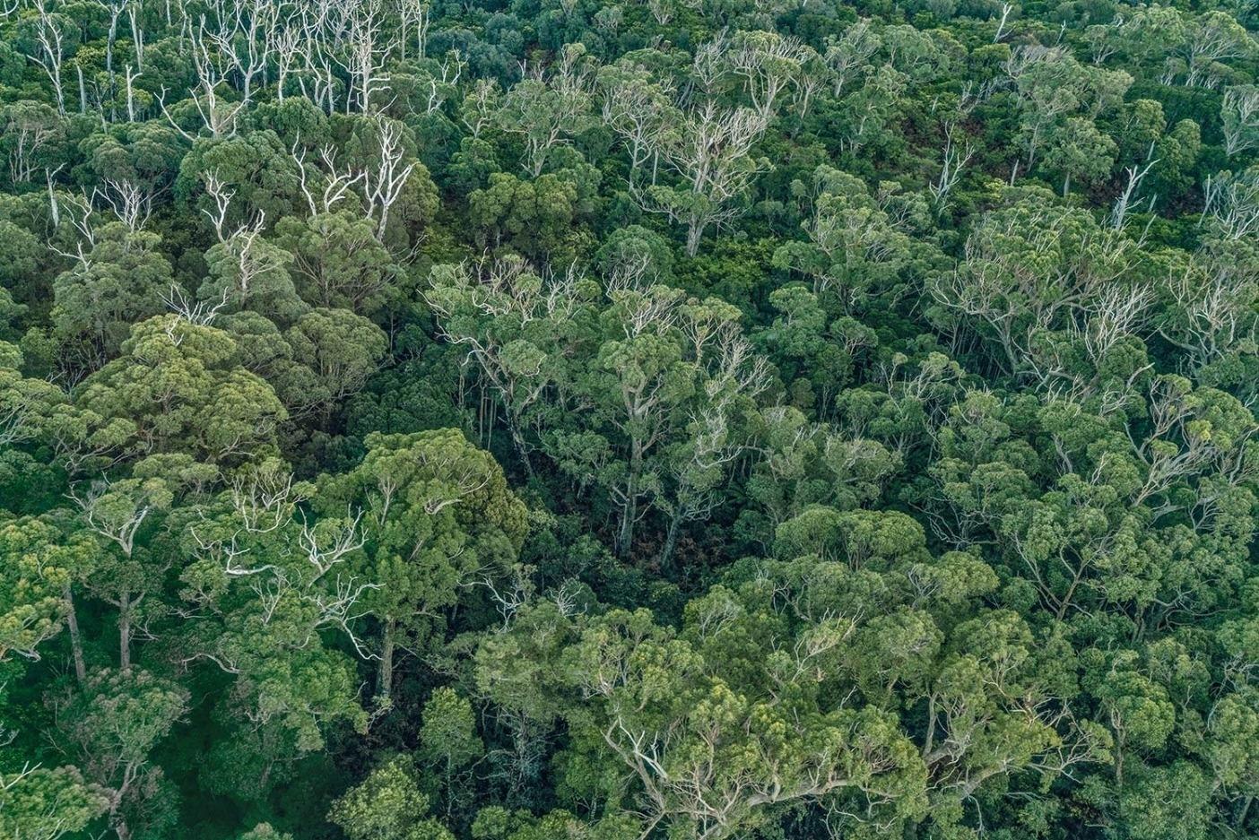 ターカインはオーストラリアに残された最大のひと区域の温帯多雨林を擁する。 Photo:Mikey Schaefer