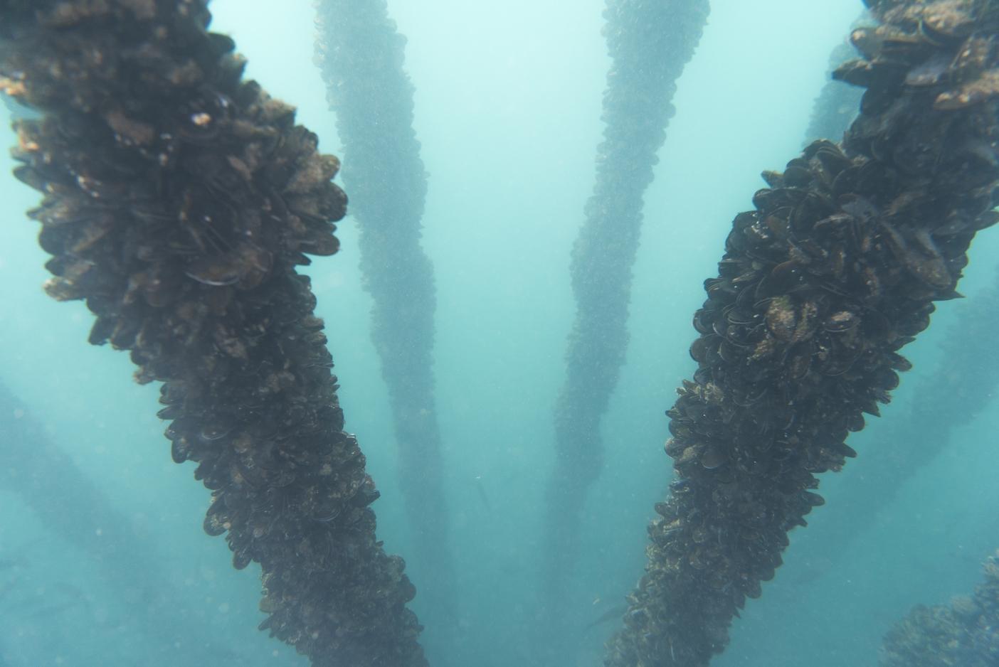 海中のムール貝の柱