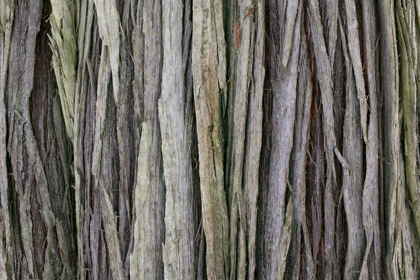 ベイスギの皮。「Thuja plicata(ベイスギ)」はブリティッシュ・コロンビア内陸の温帯雨林で繁栄する種のひとつであり、60メートル以上の高さに成長可能で、溝の入った樹幹の直径は6メートル以上、年齢は1,000年以上にも達する。Photo: Garrett Grove