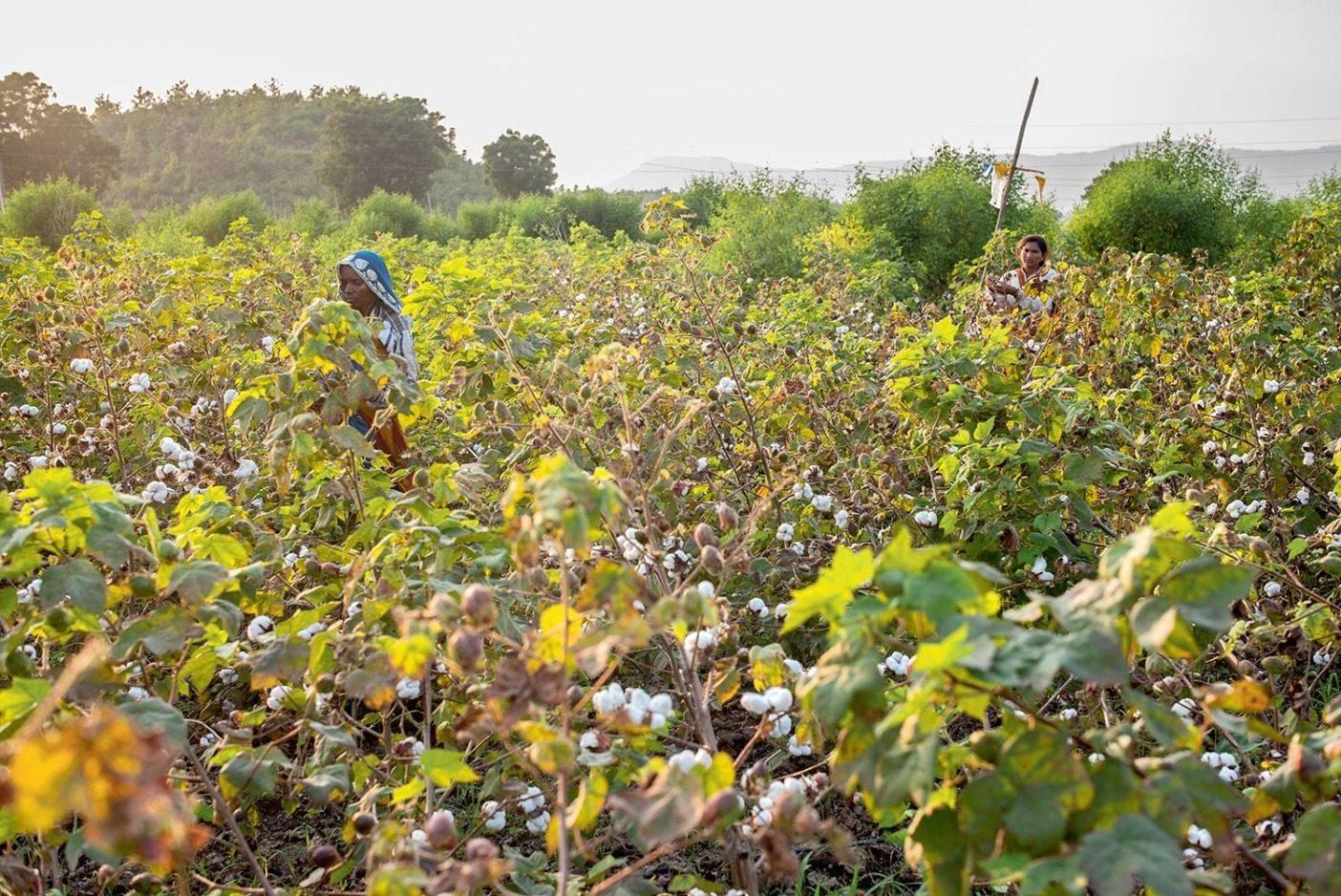 環境再生型農業はインドの綿畑で土壌を作り、炭素を蓄えることを実践している。Photo: Tim Davis