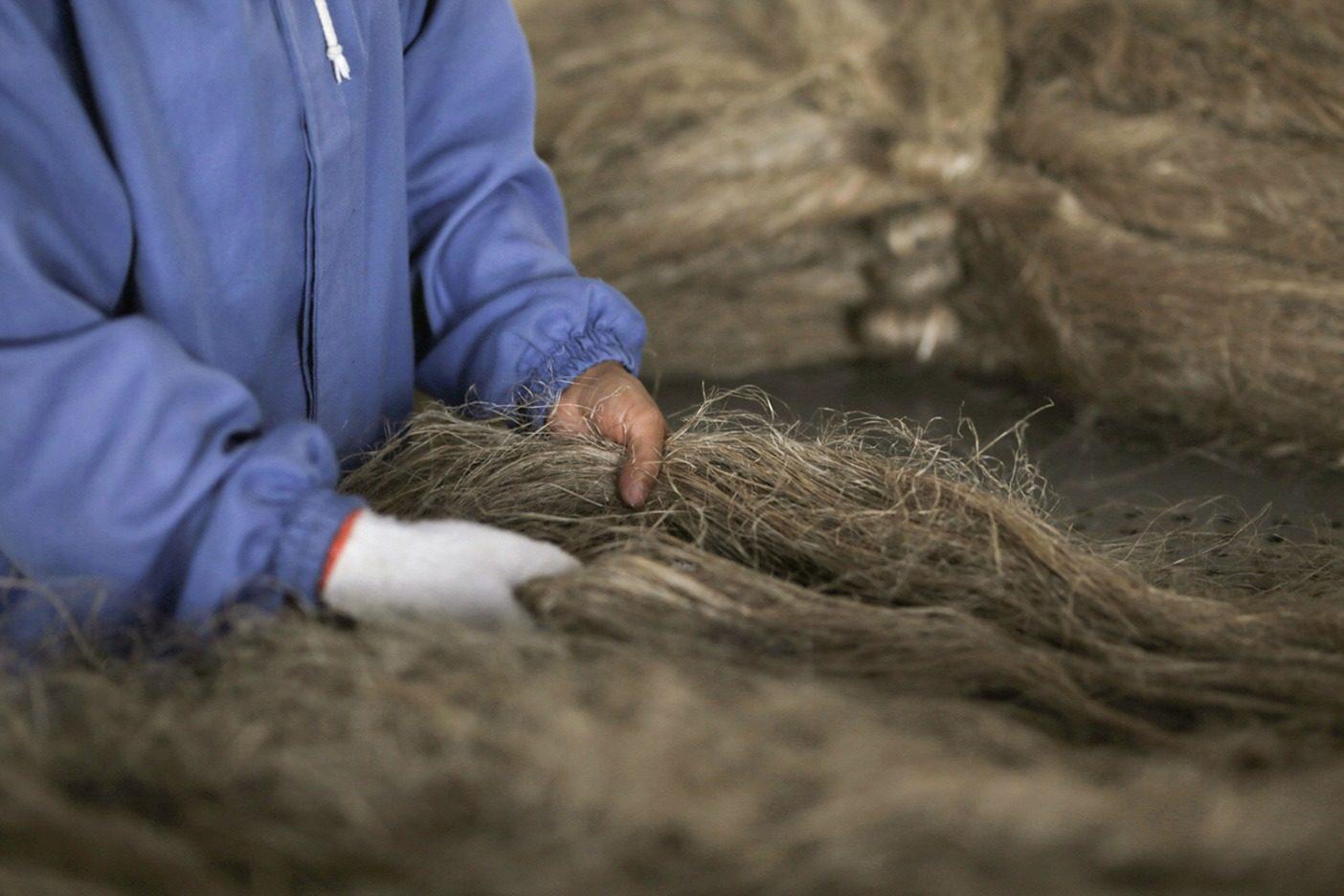 繊維の房が乾燥したら、作業員はそれを束ねて次の洗浄に備える。 Photo: Lloyd Belcher
