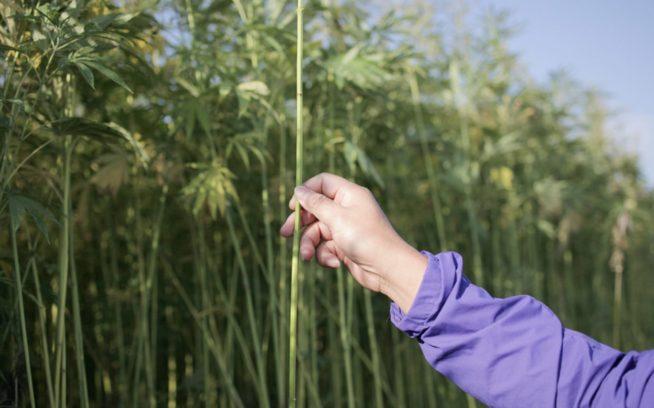 ヘンプは容易に栽培できる。繊維質の多い植物で、殺虫剤や灌漑が不要で、肥料も高品質である必要はない。しかし、ヘンプを生地にするのは専門的技術が求められる複雑な作業であり、米国の農家たちはその技術を習得し直す必要があるだろう。Photo: Lloyd Belcher
