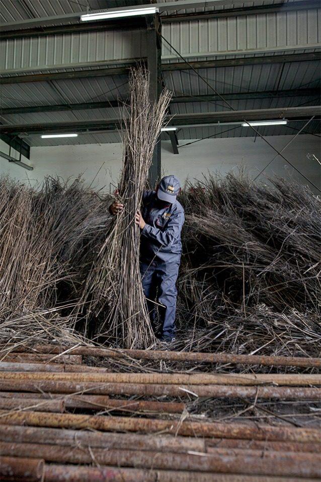 刈り取られた茎を乾燥して束ね、表皮を剥く「剥皮」と呼ばれる工程。 Photo: Lloyd Belcher