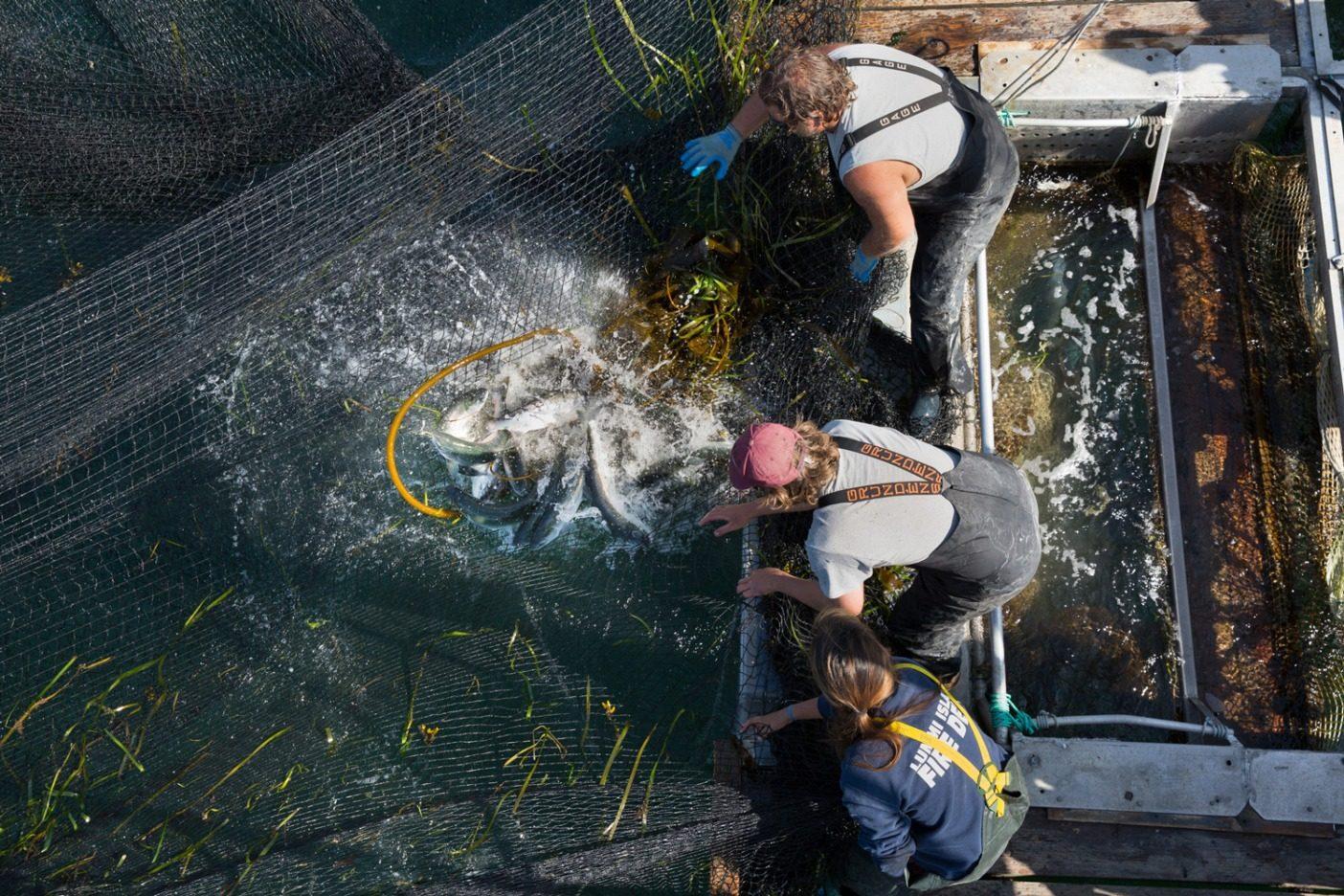 ルミ島のリーフネット漁業によるピンク・サーモン。リーフネットは元祖、そしていまも、最善の選別漁業法だ。Photo: Amy Kumler
