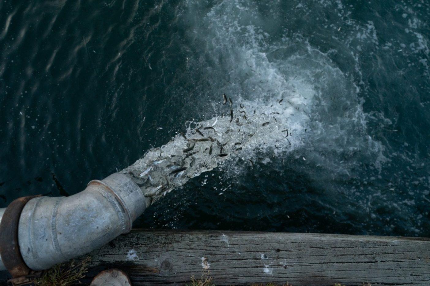 ゴミを入れ、ゴミを出す。毎年サンフランシスコ湾に放流される、孵化場で飼育された何百万匹ものサーモン。写真:ベン・ムーン