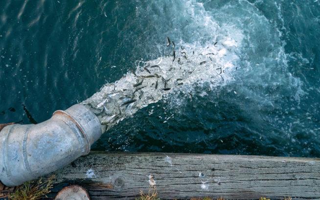 サンフランシスコ湾に放流される何千匹もの孵化した食用サーモン。Photo: Ben Moon