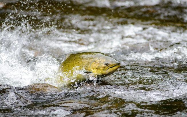産卵床をめがけて上流へと邁進する野生のチヌーク・サーモンのメス。ブリティッシュ・コロンビア州バンクーバー。Photo: Eiko Jones