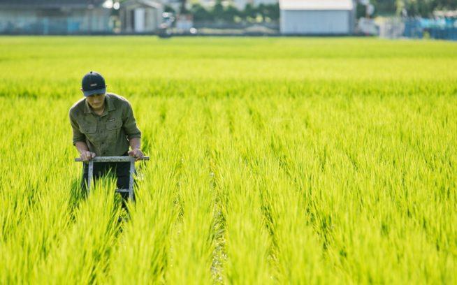 緑の稲穂が揺れる、田中宗豊さん・美子さん夫妻の田んぼ。写真:五十嵐 一晴