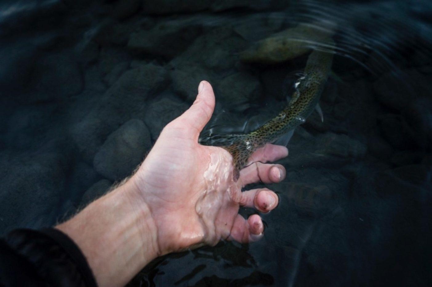 エルワ・リバーから(つかの間の休止のあと)太平洋へ下る若魚。Photo: Mark McInnis