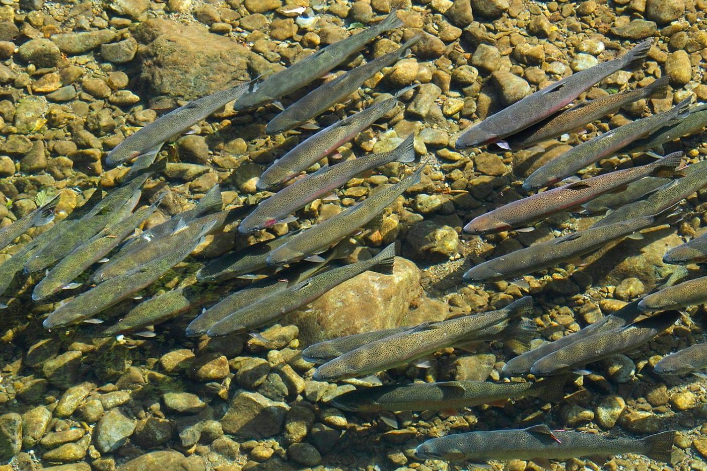 オリンピック半島、そしてここで釣りをするアングラーは、秘密の守り方を知っている。ワシントン州にある名もない川を産卵場へと向かうスチールヘッドの群れ。Photo: Jed Weingarten