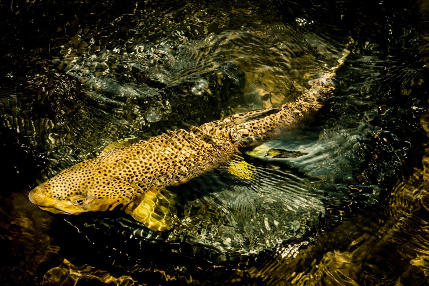 北米に生息するブラウントラウトは天然魚ではなく、ヨーロッパからの移植魚である。長い間イエローストーン周辺のローカル・フィッシング・ビジネスを支えてきた魚だというのに、近年ネイティブのグレーリングやカットスロートを追いやった犯人として悪役扱いされ始めている。真の黒幕は人間だというのに。 写真:阪東幸成