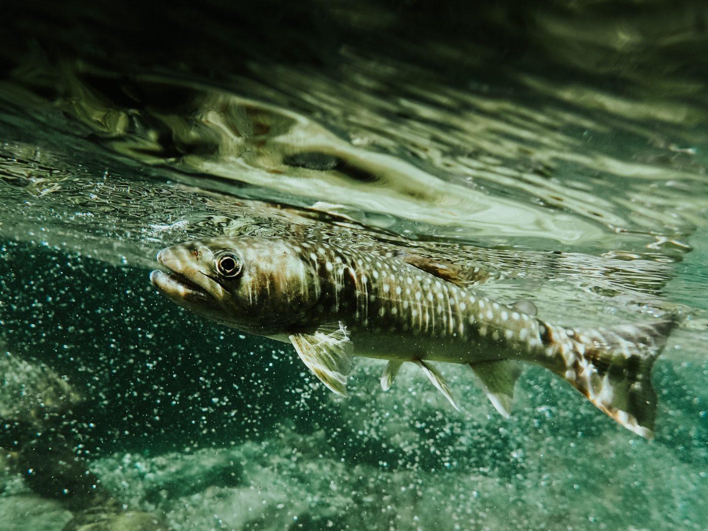 イワナは無骨で、不器用で、憎めない。だからかどうか、釣り人からも好かれてしまい、イワナは自分の良い性格を嘆いている。 写真:阪東幸成