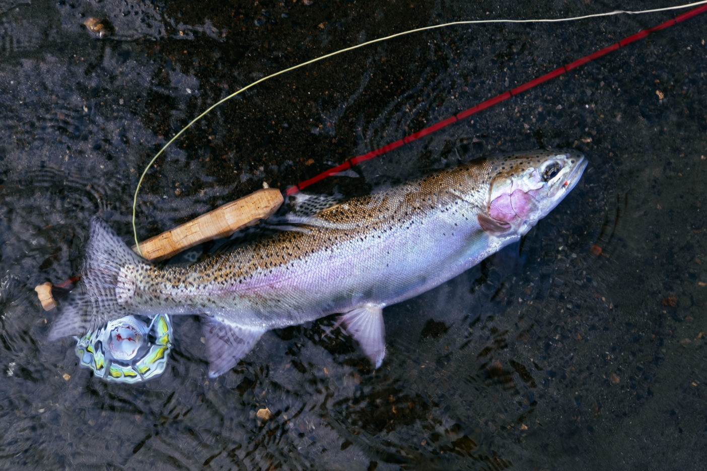 ニジマスは日本の天然魚ではないが、およそ100年前に北海道に移植されて以降、野生化して生息域を広げてきた。ところが今では環境省により要注意外来生物に指定され、人間はあまりに勝手過ぎる、と怒っている。 写真:阪東幸成