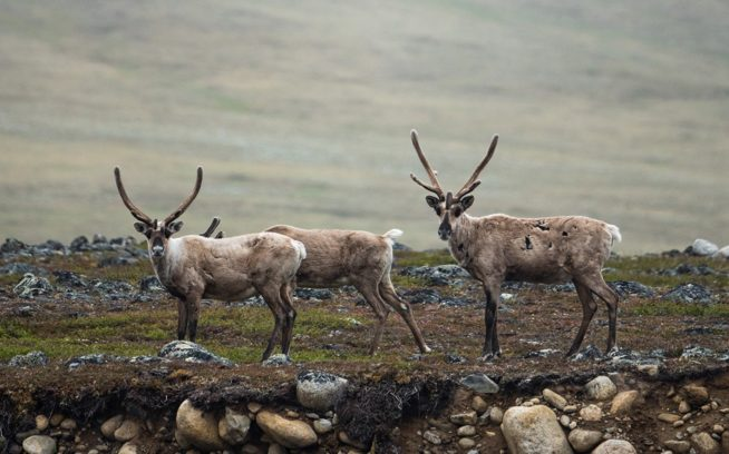 網目のように流れるジェイゴ・リバーを渡るポーキュパイン・カリブーの群れ。「私たちは信じています。グウィッチンの未来はカリブーの未来だと」と言ったのは、グウィッチンの長老だった故ジョナサン・ソロモン。北極圏国立野生生物保護区 Photo: Austin Siadak
