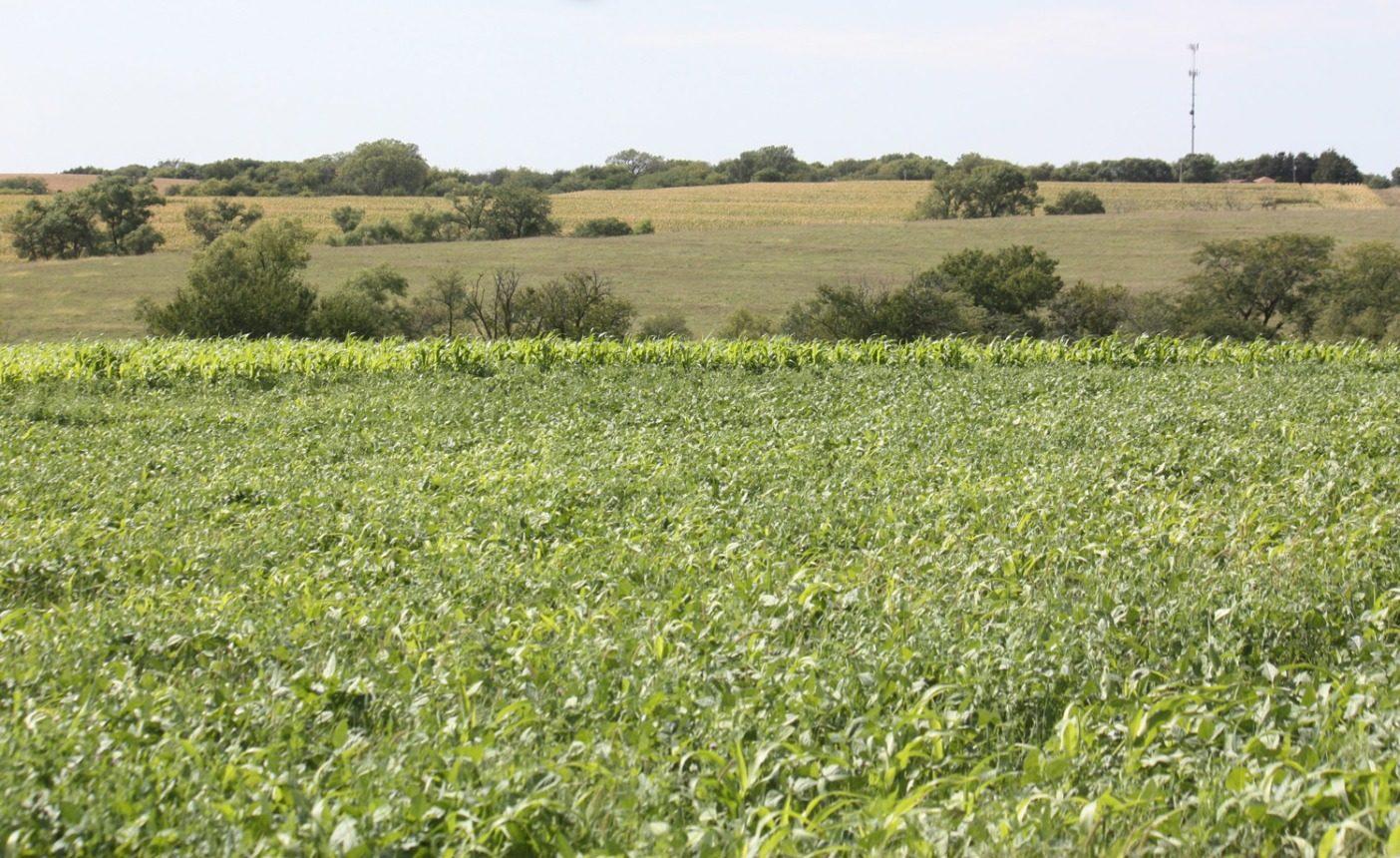 フィッケは牧草とトウモロコシを2つの目的で栽培する。それは畜牛の飼料としてだけでなく、土壌に水分や栄養分を蓄えることに役立つ被覆作物も兼ねる。Photo:Del Ficke