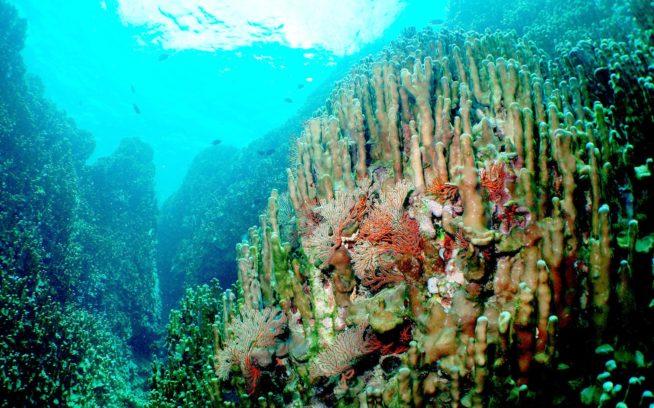 辺野古・大浦湾のアオサンゴ群集。写真:牧志治