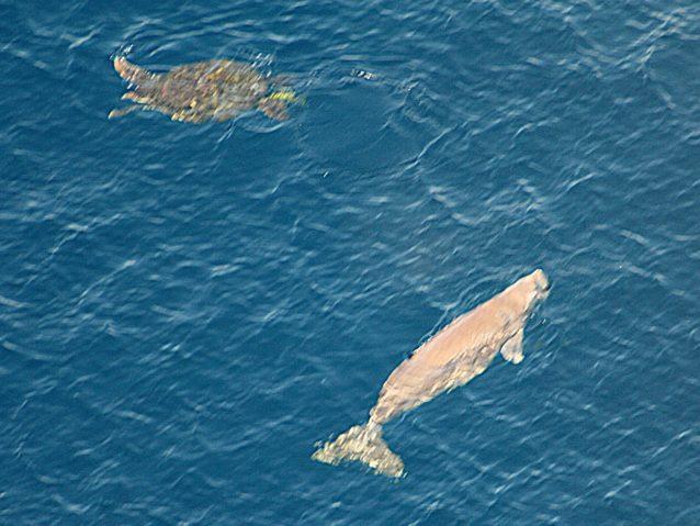 ジュゴンとウミガメ。写真:東恩納琢磨