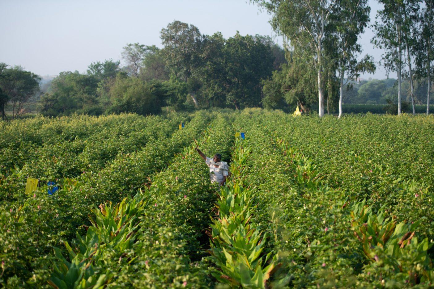綿の木とそのあいだに植えられたウコンや唐辛子の世話をするミングラシン・デーヴァ・シンガッド。こうした間作物は収入の足しにもなる。インド、サトゥルディ