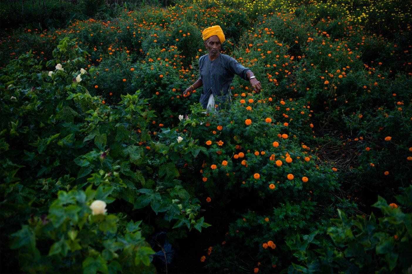 コットンと一緒に植えられたマリーゴールドを畑から摘むアムラトラル・チョガラル・パティダール。害虫を引きつける効果があるマリーゴールドは、祝祭事に重要な花でもあるため、その売り上げは農家の収入の足しとなる。Photo:Hashim Badani