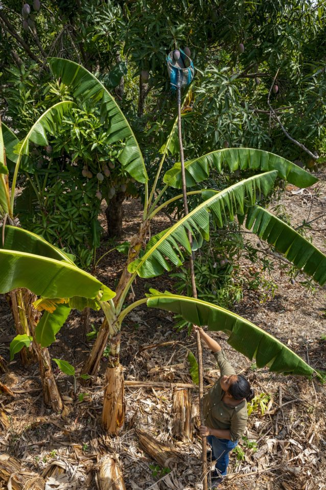 土中の窒素固定を助けるバナナやマデラネグラのあいだに植えられた木からマンゴーを収穫する農家。