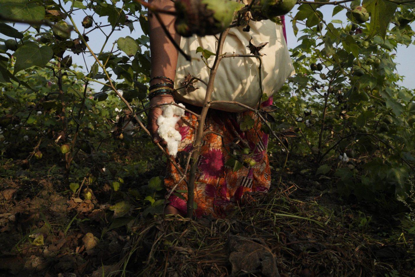 収穫の準備が整った綿花は手作業で殻から摘み取られる。Photo:Avani Rai