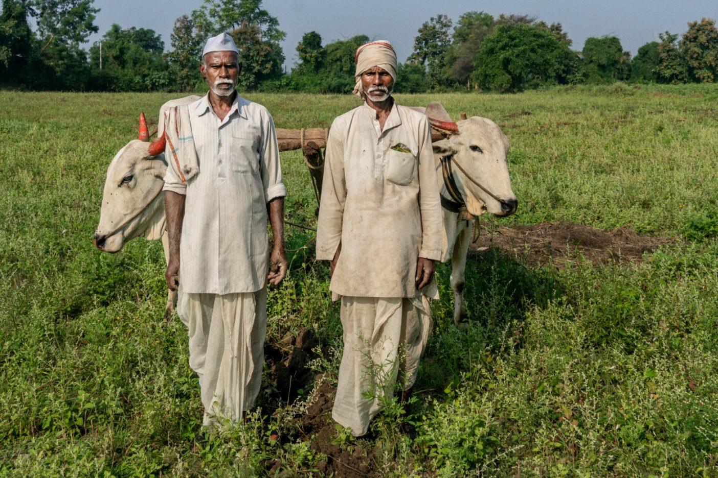 牛たちとその飼い主の2人の農夫。こうした動物が原料を提供する豊かな堆肥は、健全な土壌を育成するために重要な一要素である。Photo:Avani Rai