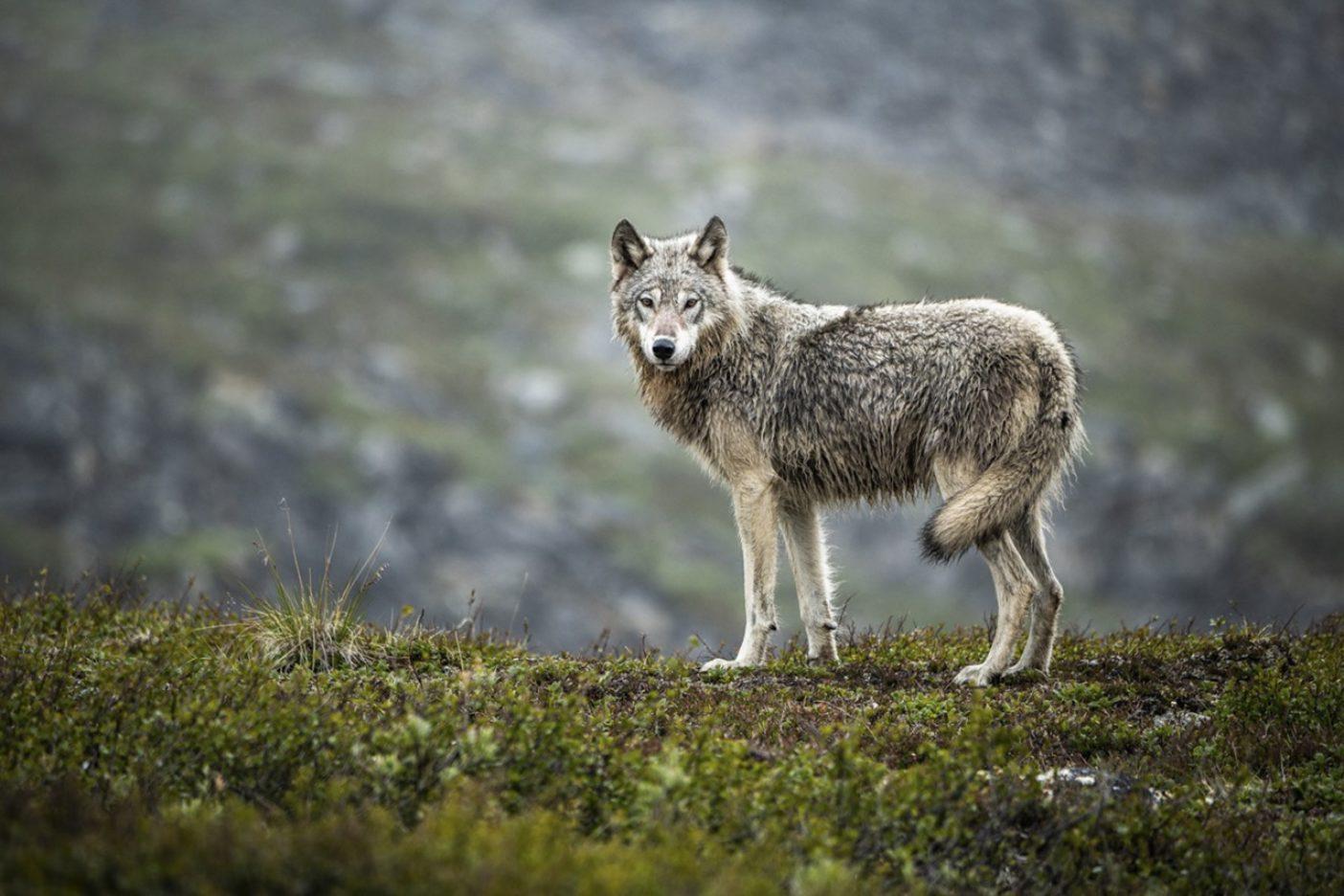 一行は、ジェイゴ・リバーの谷の涸れ沢に降り、刺すような風を避けて昼食をとった。しゃがみこんでいると、トミーが上を見て、静かに言った。「ほう、オオカミがいる。」みな振り向いた。3メートルも離れていないところから、見事なオオカミが穏やかに興味深げに私たちを見ていた。オオカミは数歩後ずさりし、数分間こちらをにらみ返し、走り去って行った。近寄れば口先に赤い血痕が見えただろう。想像するに一足先に彼もここで昼食をとっていたようだ。Photo:Austin Siadak