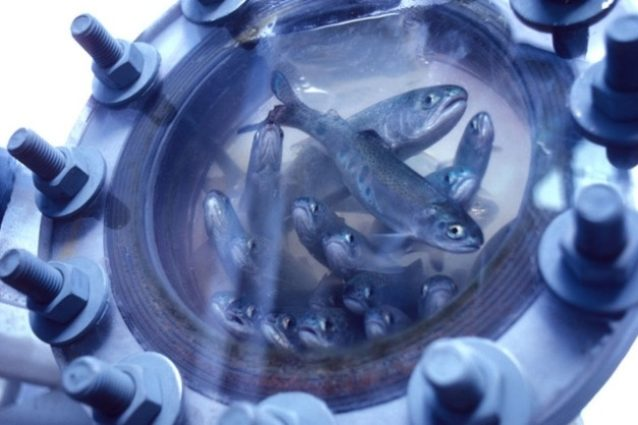 稚魚採取施設のスチールヘッドとチヌークの稚魚、まもなく艀(はしけ)やトラックに積まれて下流へ運ばれる。Photo: STEVE PETTIT