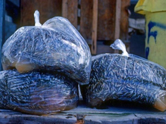 機械産業的な方法でサーモンを生産したことが、変化し続ける環境条件に対してサーモンをより脆弱にした。孵化場ではウイルスで全滅した稚魚が袋詰めにされ、捨てられるのを待っていた。Photo:STEVE PETTIT