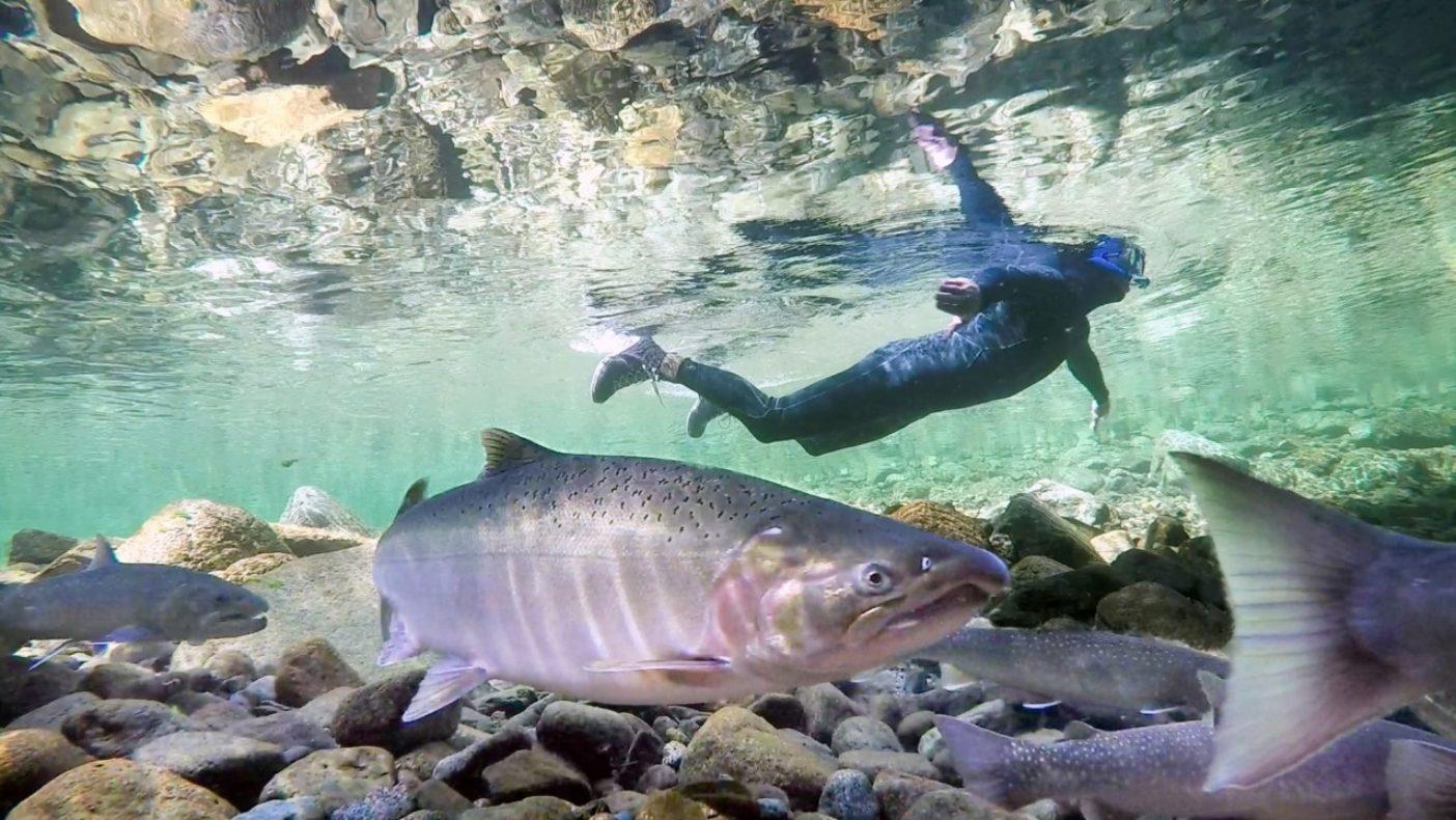 太平洋岸北西部の上流域で、神出鬼没のスチールヘッドについて河川調査をしていたニック・チャンバーズは、巨体で写り込んできたコーホーサーモンと人見知りのイワナたちを観察することができた。写真:ルス・リケッツ