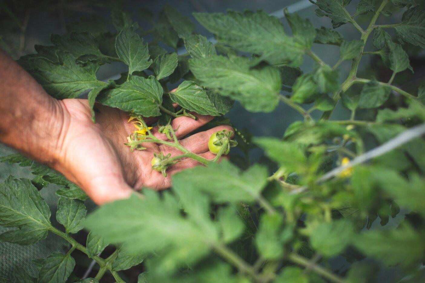 ボンシニョーレのトマトは、近隣の山小屋の人々や、地元のラグラーヴやルブールドアザンの市場の常連客に供給される。写真:エミリー・ル・ハリドン