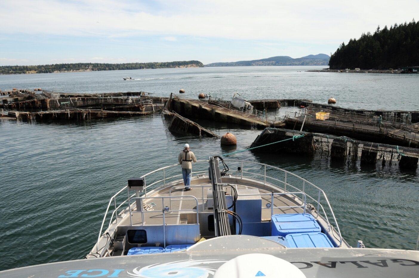 すでに手遅れ。シアトルの北112キロに位置するサイプレス島のクック・アグリカルチャー社のアトランティックサーモン養殖の囲い網の崩壊。この結果、26万匹以上の非自生の養殖アトランティックサーモンがピュージット湾に流れ出た。Photo:Wild Fish Conservancy