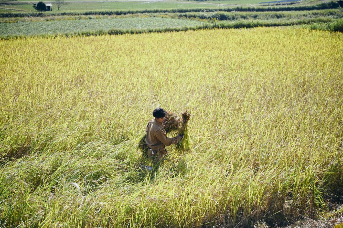 「コウノトリ育む農法」で米作りを行う「坪口農事未来研究所」。 写真:飯坂 大