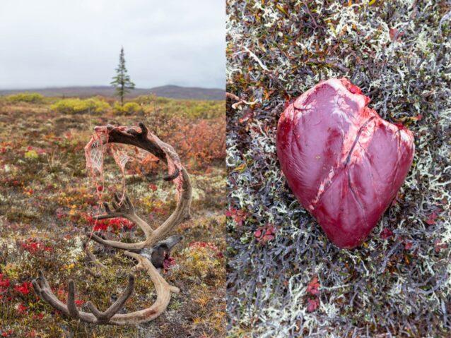 (左)グレゴリー・ギルバートが狩ったカリブーの枝角の上で、胃壁を乾燥させる。胃壁はグウィッチン族が好む乾燥肉で、カリブーの多くの用途のひとつだ。「これが僕の食料品店だ」と言うのはレイモンド・トリット。彼らの冷凍庫が底をつくようになると、グウィッチン族は零下50℃の天候でも狩りをし、罠をしかける。それほど寒いときはカリブーを野外でさばく際に手を胃のなかに入れて温める、とレイモンドは言う。 (右)グウィッチン族はカリブーの心臓の一部は人間であり、グウィッチンの心臓の一部はカリブーだと信じる。彼ら先住民の運命とカリブーのそれは絡まり合っている、と信じているのだ。太古の物語によれば、カリブーと交信できたグウィッチンの長老が彼らと協定を結んだ。カリブーがグウィッチンを食べさせてくれたら、グウィッチンはカリブーを守ると。何十年ものあいだ、グウィッチンはポーキュパイン・カリブーの群れとみずからの生活様式を保護するため、工業開発と闘っている。彼らは言う。動物は話すことができないのだから、代弁してやらねばならないのだと。Photo:Keri Oberly
