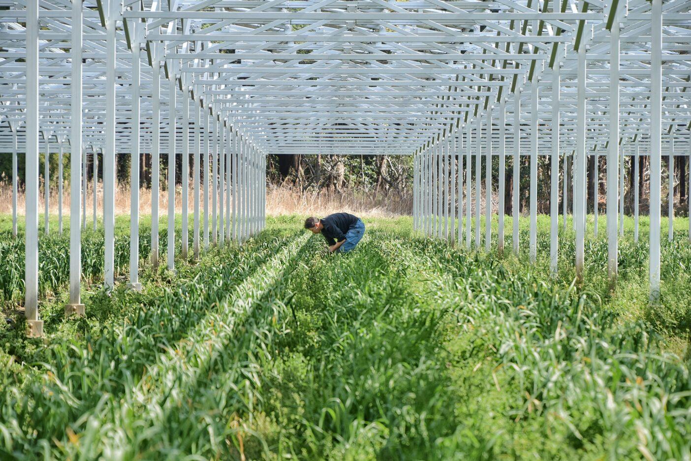 千葉県千葉市のこの農場では、若手農業者たちがニンニクを栽培しています。土地がかぎられている日本では、ソーラーシェアリングは既存のスペースを利用するため有効で、森林伐採のような方法で新しい場所を開発する必要もありません。責任ある農業とクリーンエネルギーの生成が共存することで、化石燃料への依存を減らし、健康的な食品を提供することを超えた、良いことが起こります。写真:馬上 丈司