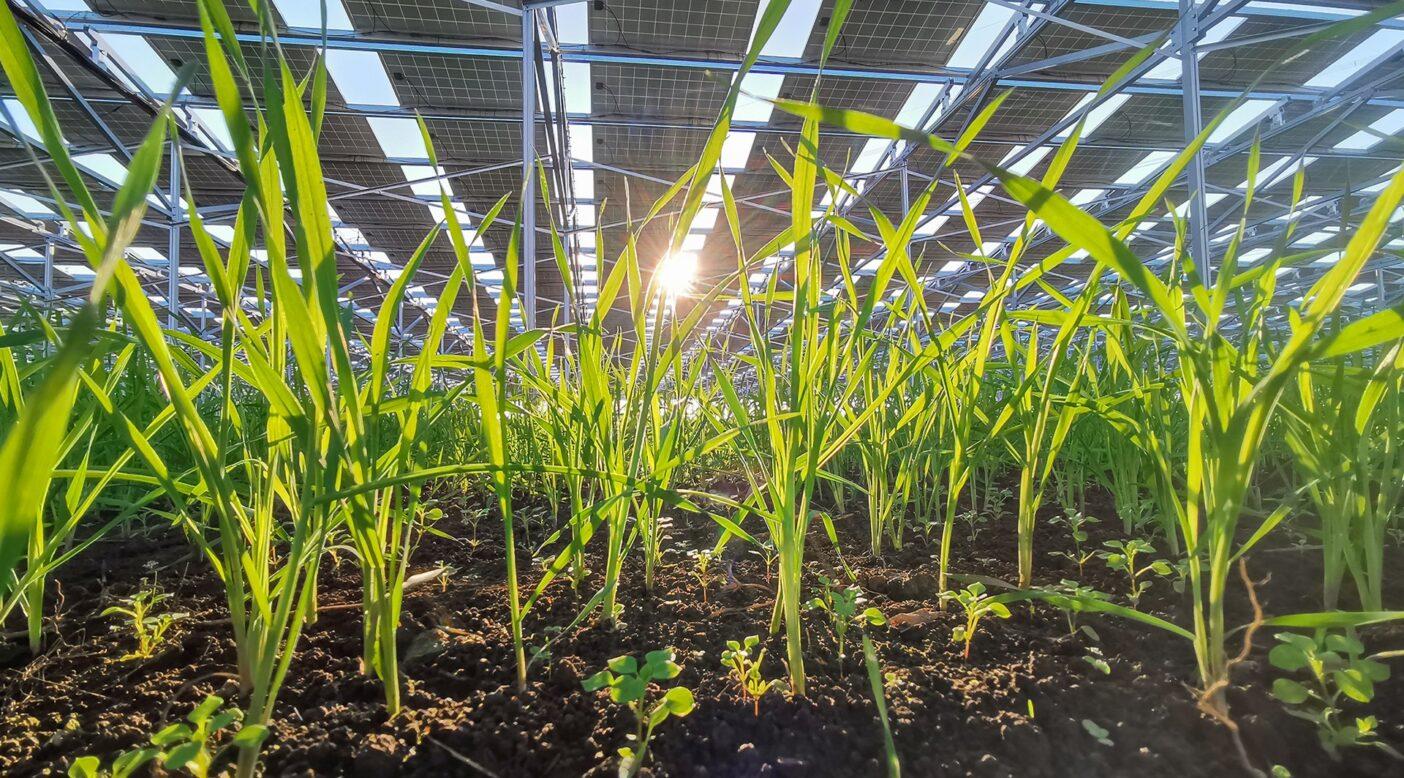 ソーラーシェアリングパネルの下で冬の日差しを受けて育つライ麦。パネルのレイアウトを工夫することで、冬場の太陽の高度が低い季節でも十分な光を作物に届けることができます。「永続地帯」と呼ばれる研究では、市町村における再生可能エネルギーと農業生産の自給率を調査しており、再生可能エネルギーが豊富な地域では農業生産が多いことが示されています。千葉県千葉市。写真:馬上 丈司