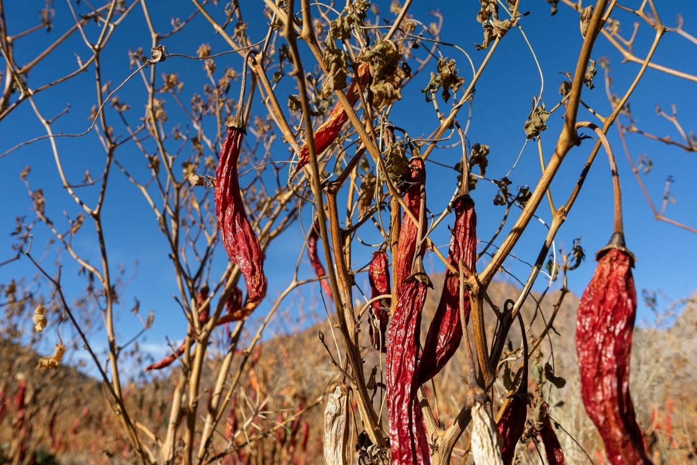アルゼンチンのサルタ州の山々の高地で採取された唐辛子は、トラックで〈モリノ・セリヨス〉の工場へと運ばれ、そこで粉砕され、蒸して殺菌される。Photo : Galen McCleary