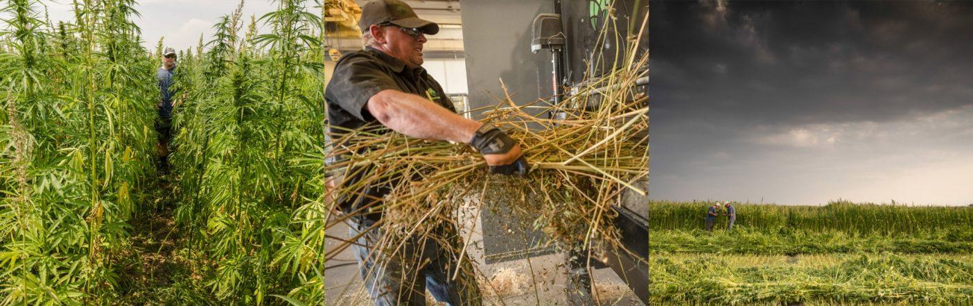 写真(左から右):サンルイス・バレーのヘンプはこの品種にしては低めの180センチに成長。Photo:Cory Richards フォーメーション・アグ社のファイバートラック剥皮機は木質の芯と繊維を分け、分別されていないそのままの茎を通すことができる。Photo:Cory Richards。植物の成長を妨げ黄化した原因は、畑の一部に水溜まりを作り、窒素の流出を招いた可能性のあるサンルイス・バレーの夏の嵐かもしれない。Photo:Cory Richards