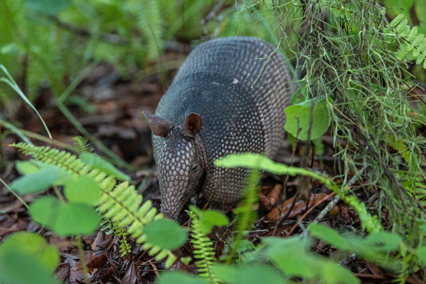 バーム・ボイエットに生息する最も愛らしい動物の一種、ココノオビアルマジロ。ハンセン病を媒介する(人間以外の)動物としても知られている。Photo : Nathalie DuPré