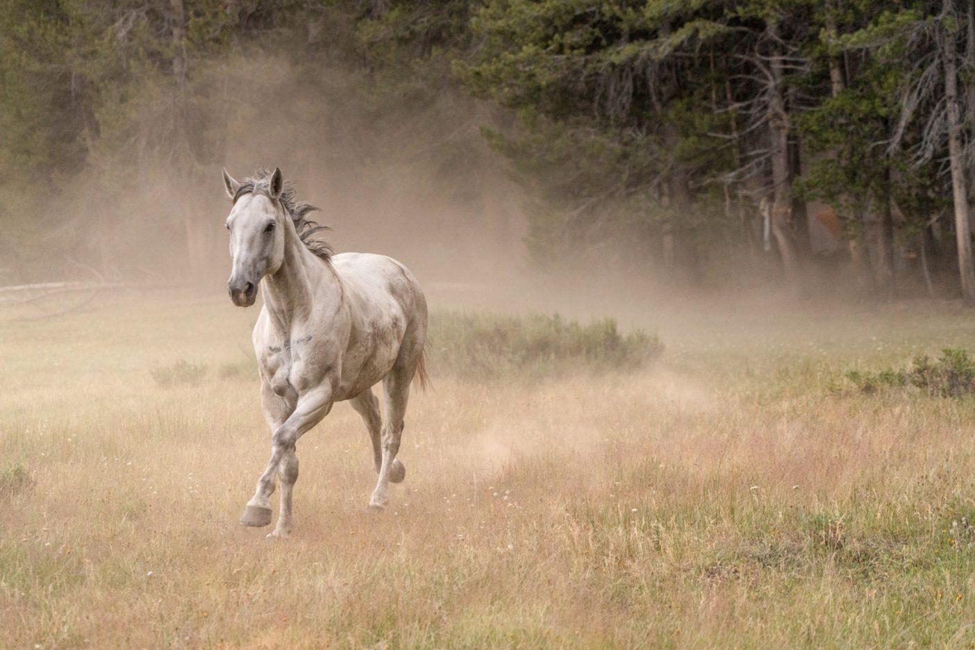 ホースシュー牧草地から少し進んで、リトルホイットニー牧草地で丈の高い草を探すガペルの後ろに土埃が舞う。Photo:Taylor Rees