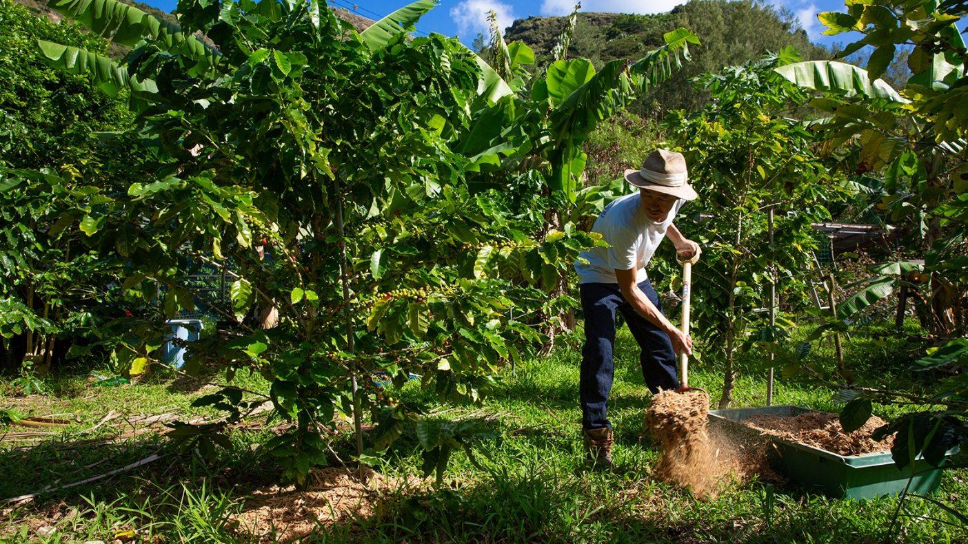 伐採木のチップをコーヒーの木へ撒く。こうして島で育った木々が島の土に還っていく。Photo:Reo Fukumoto