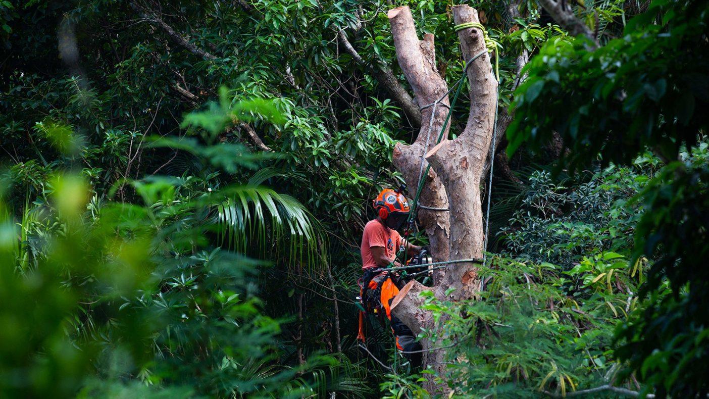 およそ600kgの伐採木をロープワークを駆使し安全な場所へ降ろす。クライマーとグランドワーカーとが互いに状況判断し慎重に作業にあたる。 Photo:Reo Fukumoto
