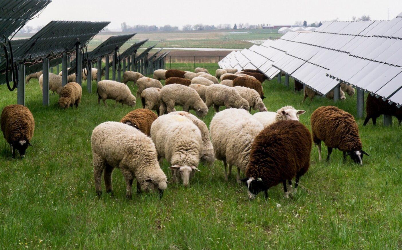 ソーラーパネルの周囲で羊は草をはむ。コロラド州フロントレンジ。Photo: Craig Scari