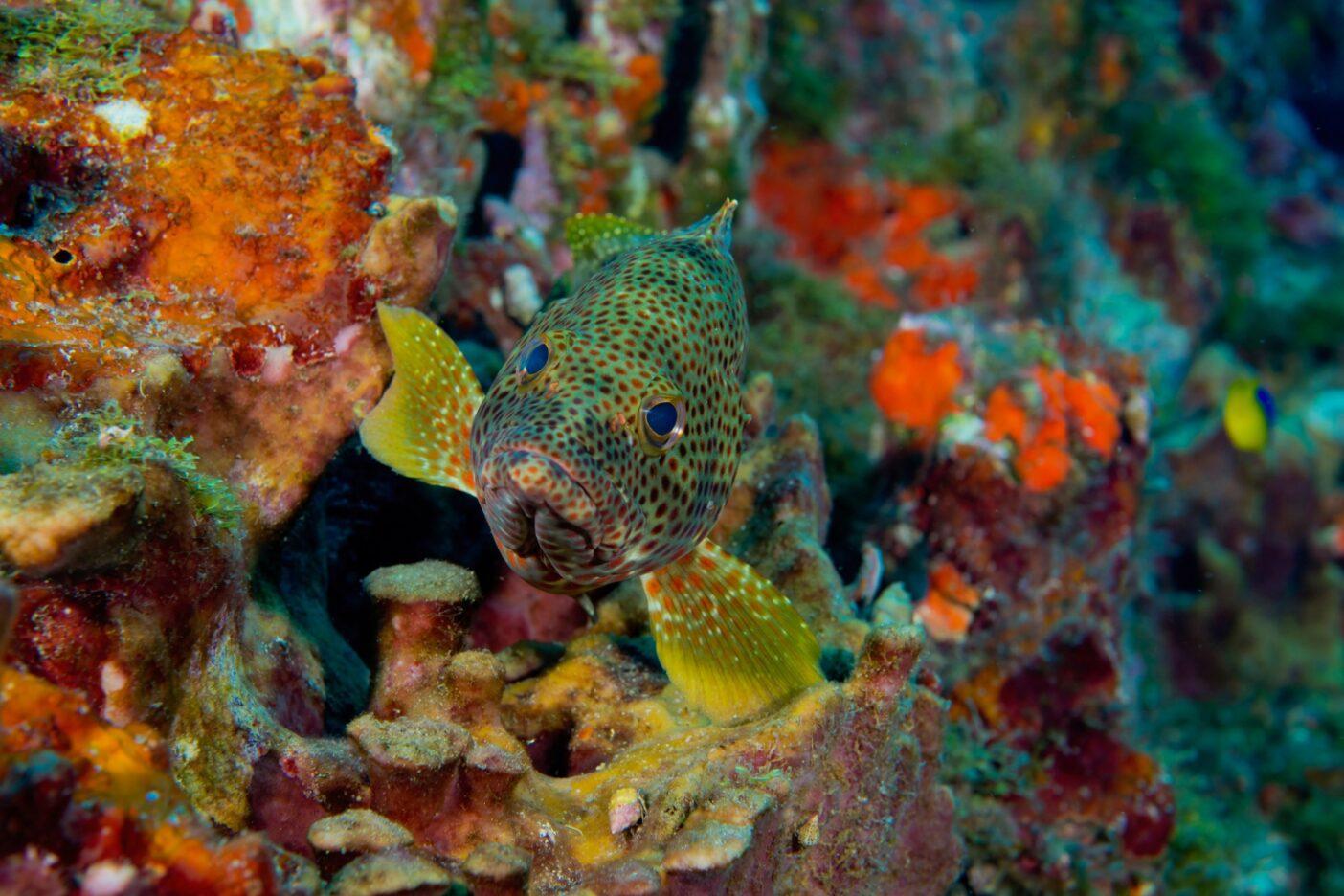ステットソン・バンクで岩陰に隠れるハタ。テキサス州からルイジアナ州にまたがるこの保護区には17か所の礁や堆があり、ここもその1つである。Photo : Jesse Cancelmo