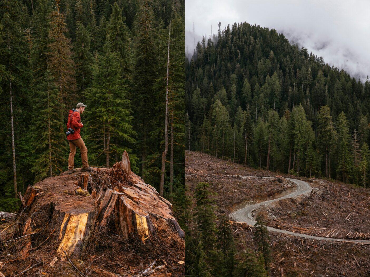 左:ベイスギの古木のほとんどは、自然に中心部が空洞になるが、それには共生菌が関連している可能性がある。しかし、そのような木は病気でも死にかけているのでもない。実際、そういう木こそ、クロクマの巣穴になるから、伐採しないでおくことが重要だ。 右:ケイキューズ川流域の最近皆伐されたベイスギ原生林の跡地を林道が蛇行する。そっとしておけば、樹木類は千年以上は生育することができる。Photos: Jeremy Koreski