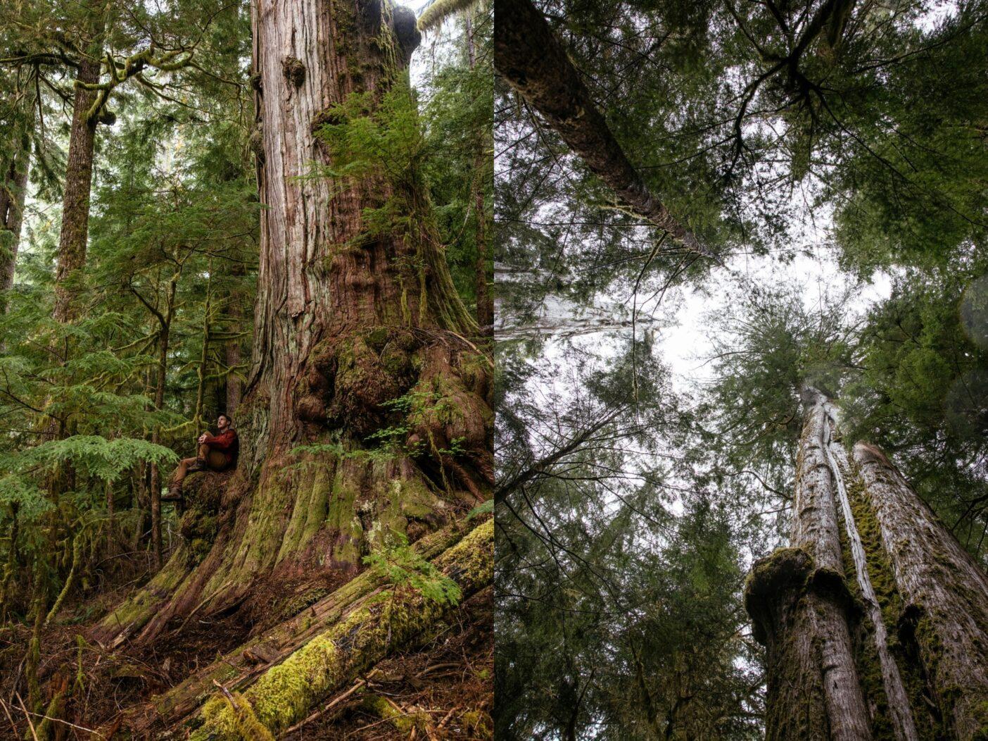 左:バンクーバー島南部のケイキューズ川流域では、多くの原生林が保護されることなく、伐採の危機にさらされている。「ケイキューズの巨人」という異名を持つ直径5メートルほどのこの巨木もその1つだ。 右:原生林では、巨木が倒れた後、林冠に隙間ができることが多く、そこから光が林床に降り注ぎ、さまざまな種類の植物が繁茂する豊かな下層植生を作る。Photos: Jeremy Koreski