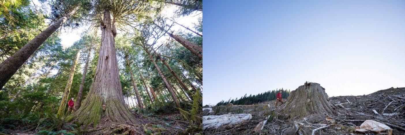 ティールジョーンズ・グループによって切り倒されたレッドシダーの原生林に寄り添うワット。ブリティッシュコロンビア州バンクーバー島、ディティダート族保留地内のケイキューズ川流域で。Photo : TJ Watt