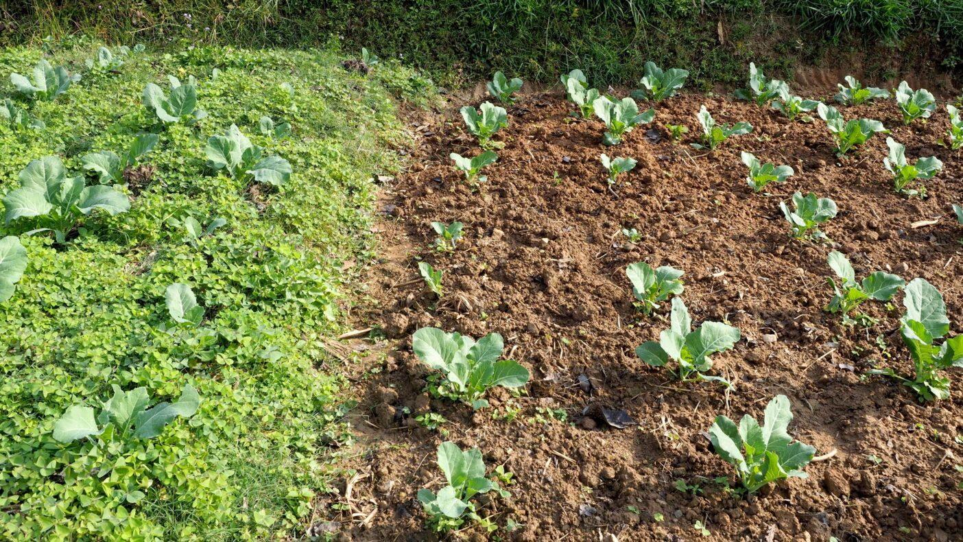 不耕起草生の保全管理と従来の耕起する管理とを3年間比較した調査区。左が不耕起、右が耕起。開始時には地面の高さが同じだったが、写真では明らかに不耕起区の方が高く、耕起区では耕すことで土壌が失われたことがわかる。ネパール・カトマンズ近郊Devitar, 2018年。写真:金子 信博